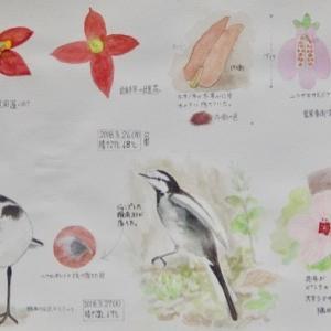 #ネイチャー・スケッチ #Naturejournal #sketch #Watercolor #水彩画 #野鳥 #植物