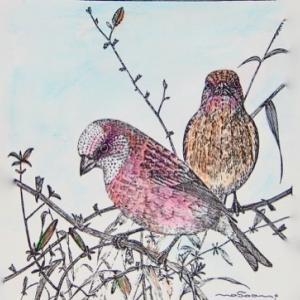 #彩色ペン画 #1970年代の作品「オオマシコのペア」