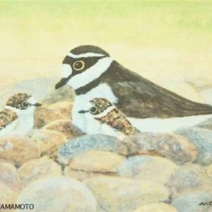 #自然画 #コチドリ『小千鳥の母子』#LittleRingedPlover