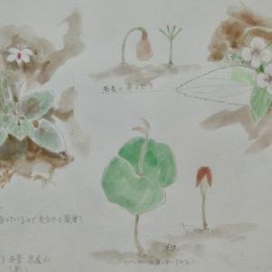 #ネイチャー・スケッチ #Naturejournal #sketch #水彩画 #植物