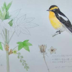 #ネイチャー・スケッチ #Naturejournal #sketch #Watercolor #水彩画 #植物 #野鳥