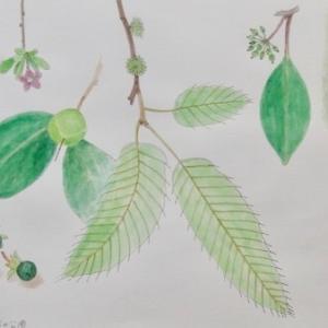 #ネイチャー・スケッチ #naturesketch #Naturejournal #水彩画 #植物