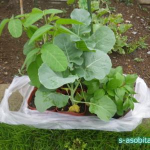 空きスペース用の野菜の苗を追加で買って植えた話