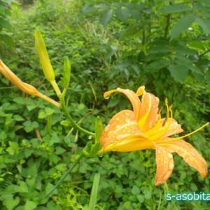 中華料理の材料にもなるカンゾウ(萱草)の花とつぼみを食べる
