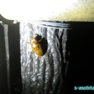 埼玉に生息する外来ゼミ「タケオオツクツク」の幼虫を捕まえにいく