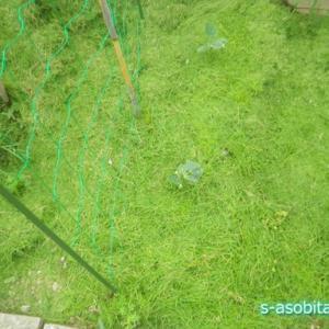 刈り取った庭の芝を捨てずに家庭菜園のマルチとして使用してみる