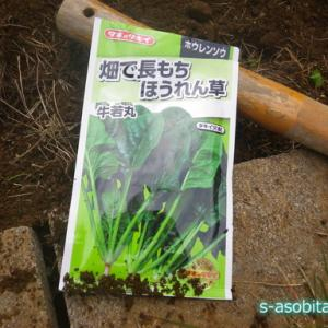 夏野菜を植えていた場所にホウレンソウの種をまく