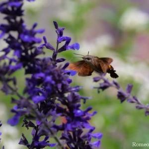 ホシホウジャクとハーブ園の花々