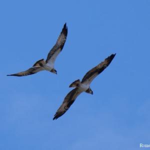 2羽のミサゴ 急接近!