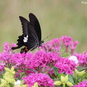 蝶とペンタス・薔薇
