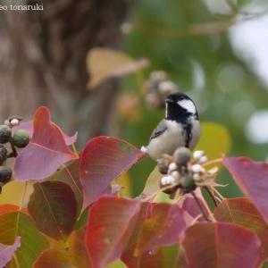 「新発見!言葉でつながる小鳥たち」NHKワイルドライフ