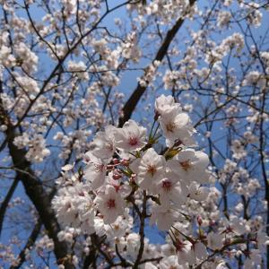 桜を見に行ってきました♡