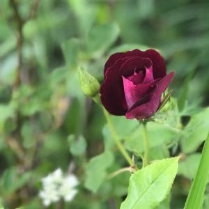 【花のある暮らし】小さな庭の花たち② 薔薇も咲きました(´ω`*)