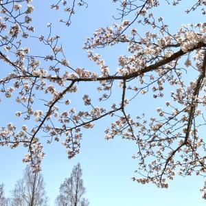 ワンコとお花見♪公園には お気に入りのコレが大活躍(*^^)v