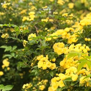 春の小さな庭のお花たち(´ω`*)