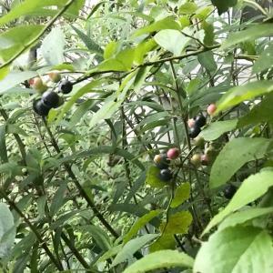 お庭のブルーベリーの収穫と美味しいおやつ(*´꒳`*)