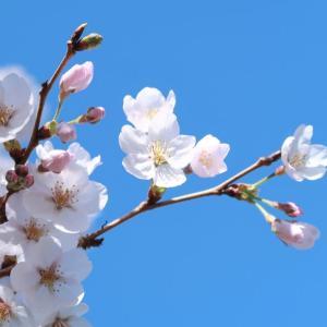 今年の桜。自宅隣の空き地にて