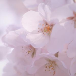 水彩画のように淡く透明感ある桜の写真を目指して。コンデジ撮影、加工はWindows10フォトとGoogleフォト