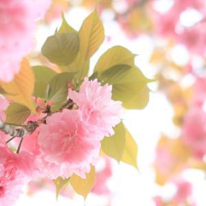 満開の八重桜。やわらかな多幸感