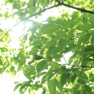 みどりの日。木漏れ日さんぽ、シュロの花