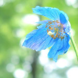 幻の花「ヒマラヤの青いケシ」が咲く!上三依水生植物園で撮影しました【栃木県日光市】