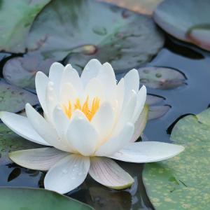 7月の上三依水生植物園でスイレンと初夏の花を撮影しました【栃木県日光市】