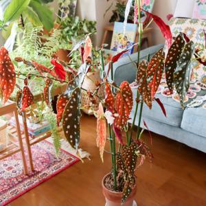 ベゴニア・マクラータが今年も開花しました。葉っぱが落ちる原因は?