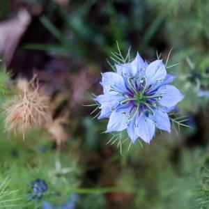 こぼれ種で翌年も咲きやすい、ニゲラの種まきのポイント