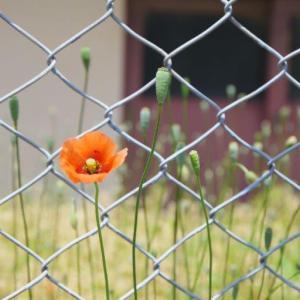 フェンスの花-1
