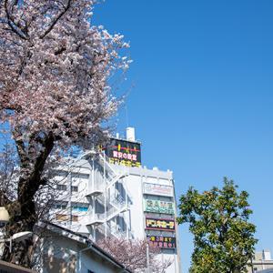 練馬区 平和台の桜、環八沿いを美しく彩ってくれます