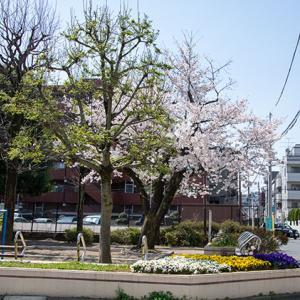 氷川台の良さを再確認!の桜の季節