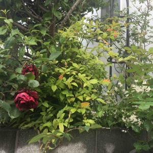 赤いバラの原種〜ロサモエシーヒリエリ