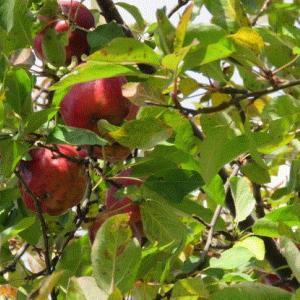 リンゴとカキの生る河川敷