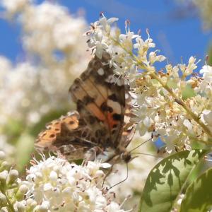 ママたん昆虫記 vol.77~ 昆虫ラッシュのネズミモチの花 ~