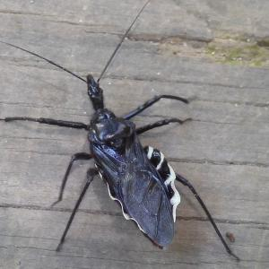 ママたん昆虫記 vol.78~ 白黒のボディコンシャス、ヨコヅナサシガメ ~
