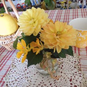 黄色いダリア、もりもり♪/ もりもりの松葉牡丹