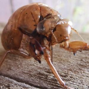 ママたん昆虫記 vol.87~ セミの抜け殻の初見日/母蜘蛛の卵への愛情?~