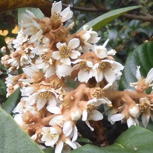 じっと見て遠くから見て枇杷の花:稲畑汀子「ホトトギス」