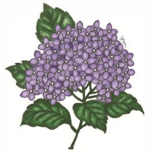 紫陽花 @illustration