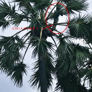 ヤシの木に登る人 @bali_life
