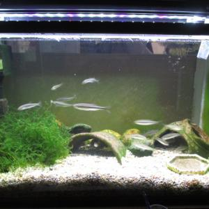 20cm水槽にいたカワムツ稚魚3匹が、60cm水槽へ引っ越し