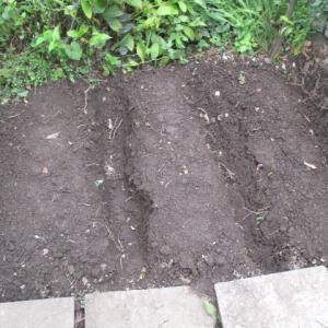今年はニンニクを早めに植える