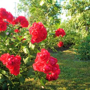 赤いバラへの偏見を消したルスティカーナ