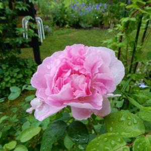 雨に咲く。アロハ・コレッタ・アンブリッジローズ
