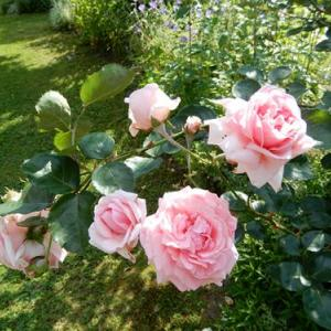 緑陰の薔薇たち