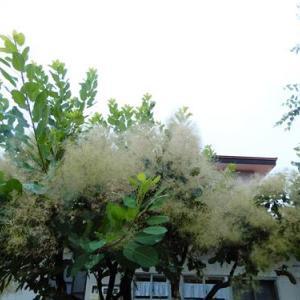 ケムリの木 羽衣 アナベル