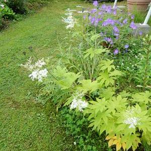 今年の宿根草、一番は、白花京鹿の子