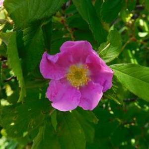 寒冷地のバラ 6.オオタカネイバラ