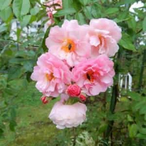 寒冷地のバラ 7.コーネリア