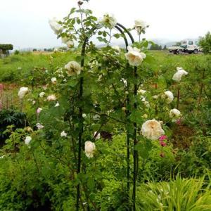 寒冷地のバラ 8.白薔薇のソンブレイユ